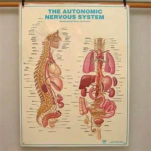 AUTONOMIC NERVOUS SYSTEM Large Anatomical Chart Poster | eBay