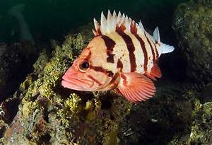 Tiger rockfish » Fishes » Permanent exhibition ...