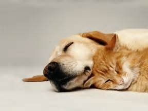 cat and dogs cats and dogs backgrounds pets wallpapers