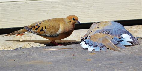 mourning doves mating dance birds  blooms