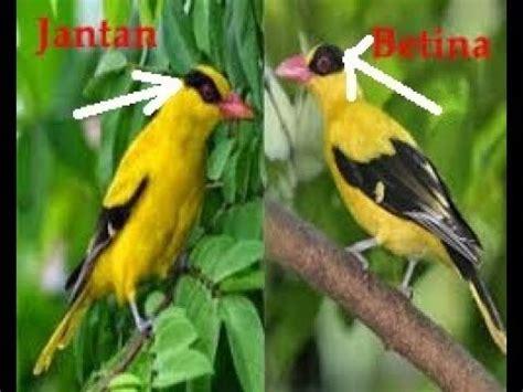 Perbedaan murai jantan dan betina secara fisik. Cara Membedakan Burung Kepodang Jantan dan Betina - YouTube