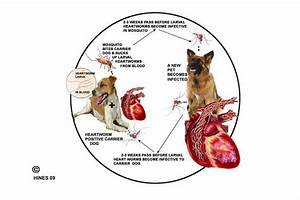 understanding heartworm disease