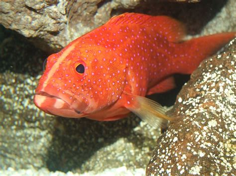 fish grouper underwater expensive most cute miniatus fishing florida saltwater water tank tropical bass ocean groupers minute lure dirty guide