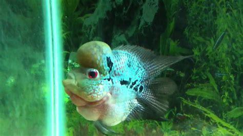 flowerhorn fish short body youtube