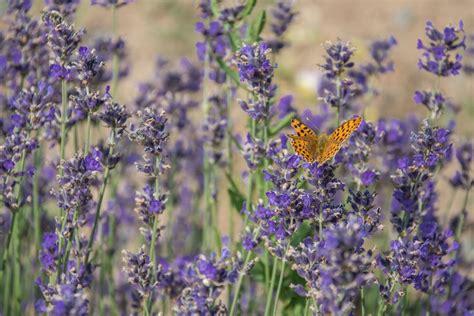 Lavandula Stoechas Winterhart by Ist Lavendel Winterhart Das Ist Zu Beachten