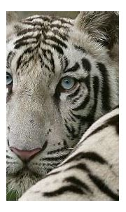 Reform of India's Zoos Necessary after White Tiger Attack ...