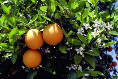 florida state flower orange blossom