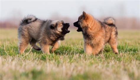 Dzīvespriecīgais eirāzietis - suns, par ko rūpēties vēlēsies katrs - DELFI
