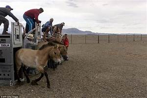 Zoo-bred Przewalski's horses are freed into the plains of ...