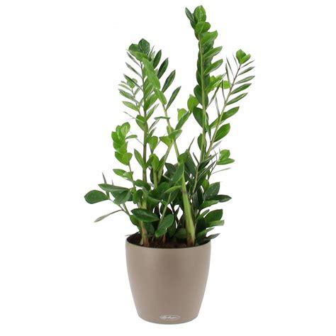 plantes de bureau sans soleil livraison zamioculcas en bac à réserve d 39 eau la plante