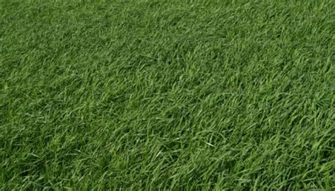 zoysia zorro grass lawn augustine st undesirable grasses winter care yard level soil sod brown types take texas weeds ehow