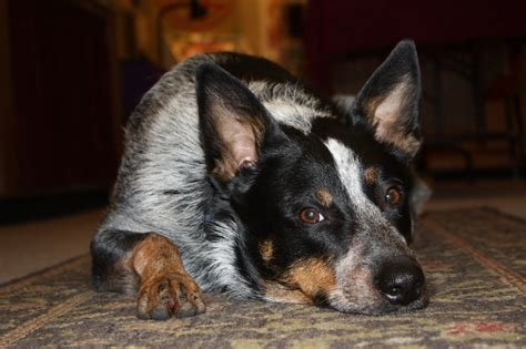 Do Blue Heeler Border Collies Shed by Queensland Heeler Border Collie Mix Breeds Picture