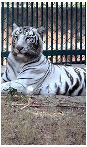 White tiger   Wildlife photography, White tiger, Wildlife
