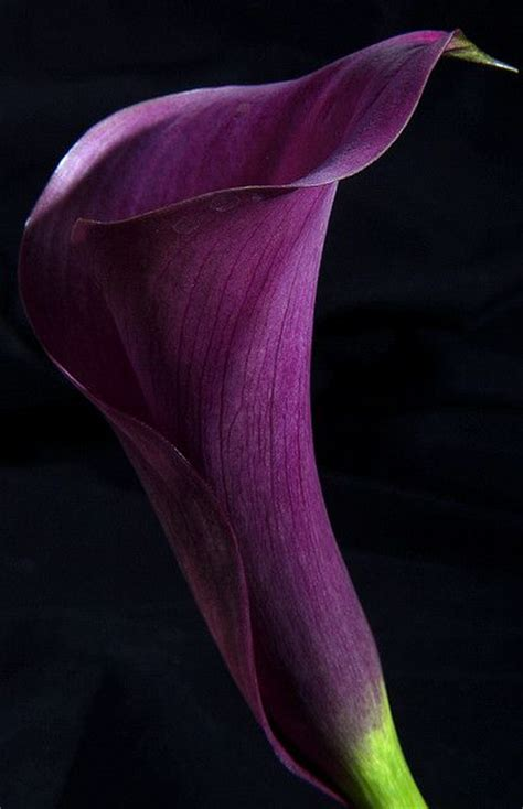 purple calla purple calla lily flowers pinterest