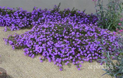 ground cover purple drought resistant plants list