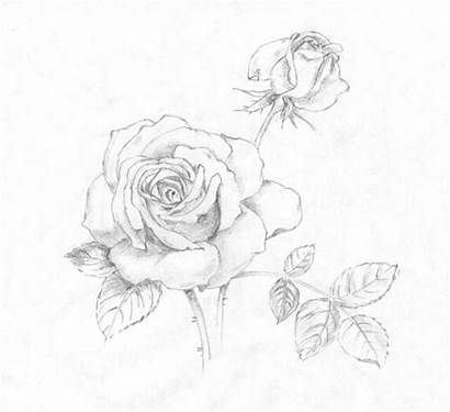 Pencil Rose Drawing Drawings Draw Illustration Flickr