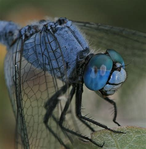 dragonfly macro photography