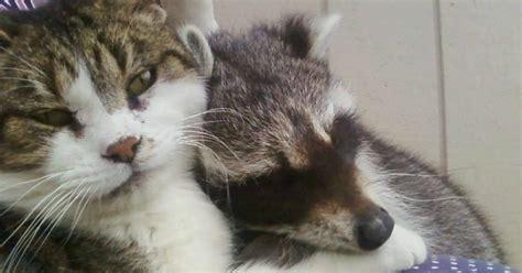 ce chat  pris soin de ce petit raton laveur orphelin