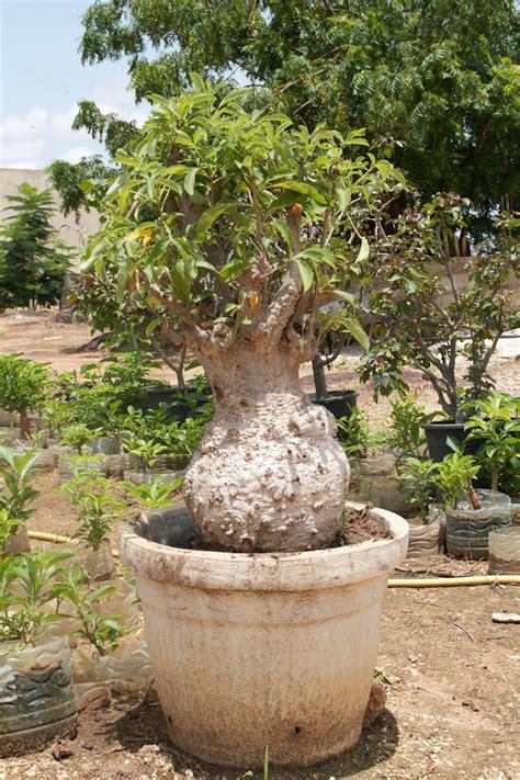 baobab page 3 poudre fruit de baobab bio