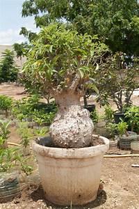 Arbre En Pot : baobab poudre fruit de baobab bio page 3 ~ Premium-room.com Idées de Décoration