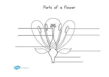 parts   plant  flower labelling worksheet parts
