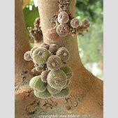 Fig Tree   itsl...