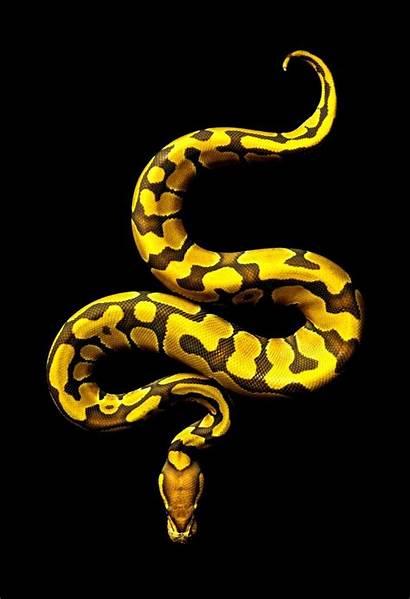 Yellow Snakes Snake Python Ball Pastel Seraphon