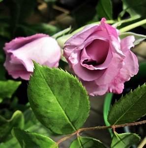 Mainzer Fastnacht Rose : sommer i min hage astrologenkari elsker vakre blomster ~ Orissabook.com Haus und Dekorationen