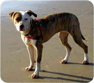 Whippet Pitbull Mix | www.pixshark.com - Images Galleries ...