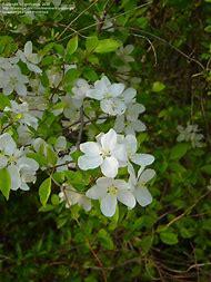 Best 25 ideas about white flowering tree identification chart flowering trees identification white flowers mightylinksfo