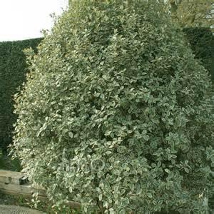 pittosporum tenuifolium 39 garnettii 39 information pictures cultivation tips