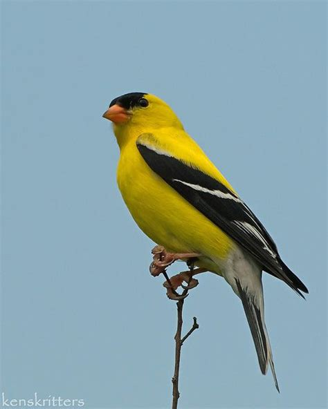 gold finch quot and the yellow bird sang just to hear