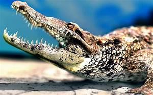 Crocodile wallpaper - 562577