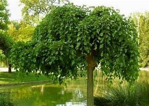 Arbre à Croissance Rapide Pour Ombre : les plus beaux arbres port pleureur inspirations ~ Premium-room.com Idées de Décoration