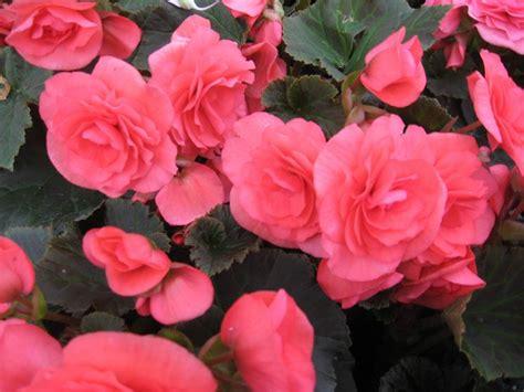 fiori begonie begonia begonia piante appartamento cure e curiosit 224