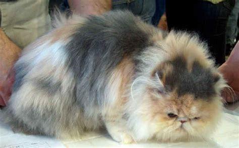 foto persiani razze gatti persiano
