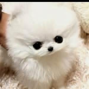 Micro Teacup Pomeranian Chihuahua