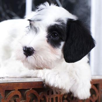 sealyham terrier breed information characteristics