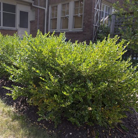 when to prune boxwood how to prune trim and shape your shrubs