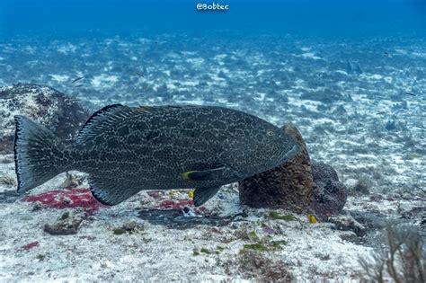 cozumel submarinismo mycteroperca venenosa grouper yellowfin eat chicken says