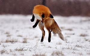 The red fox (Vulpes vulpes). | pgcps mess - Reform Sasscer ...