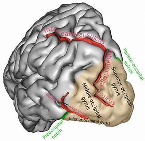 Occipital Lobe  Operative Neurosurgery