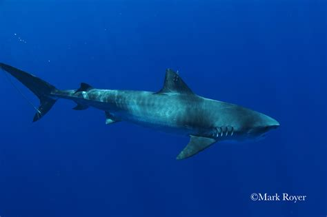 Shark Image Hawaiʻi Tiger Shark Tracking Pacioos