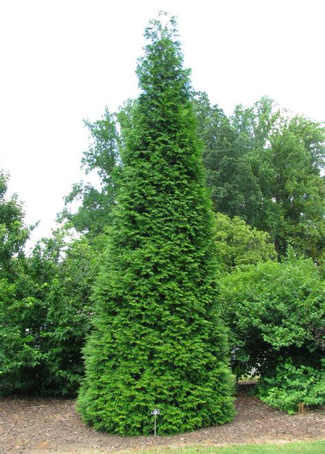 arborvitae trees green giant arborvitae hunter trees