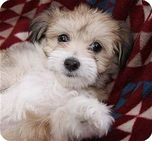 LOTTIE | Adopted Puppy | Newport Beach, CA | Havanese ...