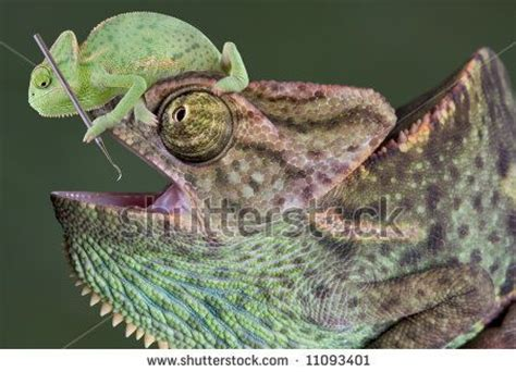 veiled chameleon changing colors veiled chameleon changing colors