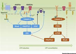 Calpain-1 and Calpain-2: The Yin and Yang of Synaptic ...