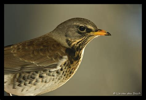fieldfare graphics  animated gifs