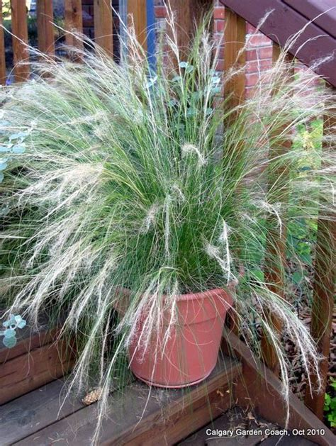 grasses for containers calgary garden coach ornamental grasses not just for the perennial garden