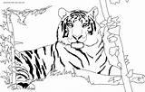 Tiger Coloring Printable Animal Drawing sketch template